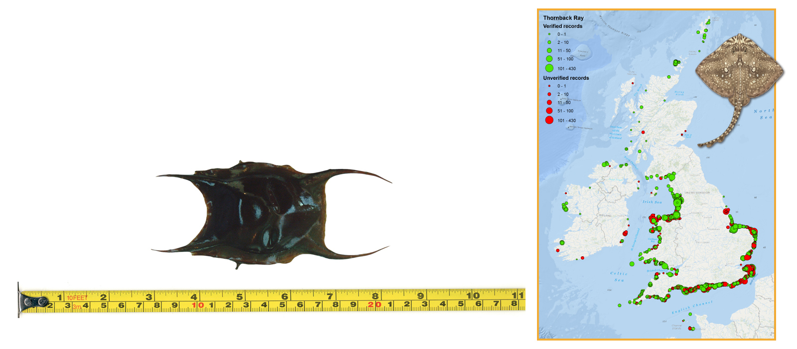 Thornback Ray Eggcase & Map