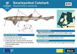 Smallspotted Catshark Pocket Guide (pdf)