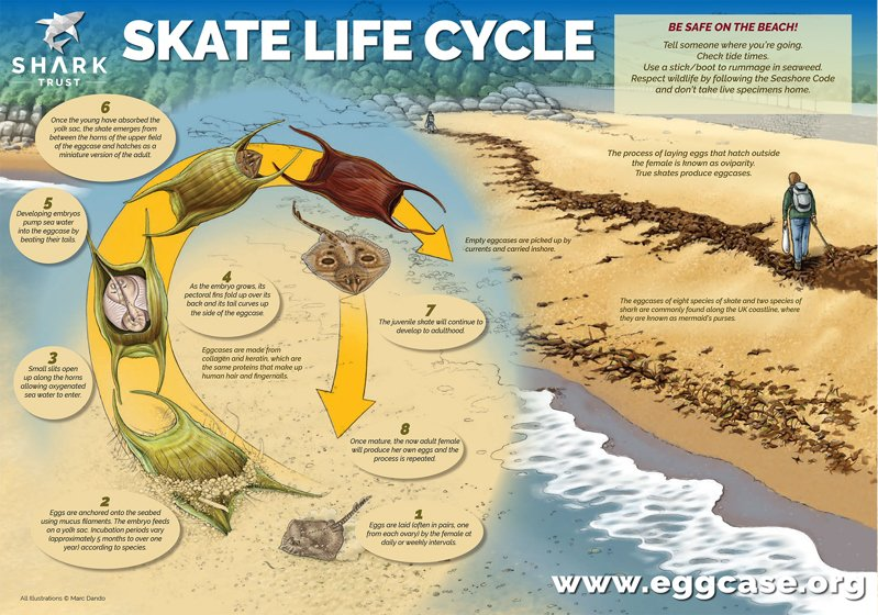 Great Eggcase Hunt Skate Lifecycle Poster (pdf)