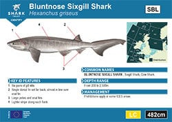 Bluntnose Sixgill Shark Pocket Guide (pdf)