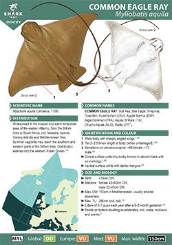 Common Eagle Ray ID Guide (pdf)