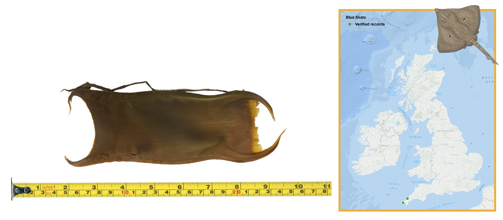Blue Skate Eggcase & Map
