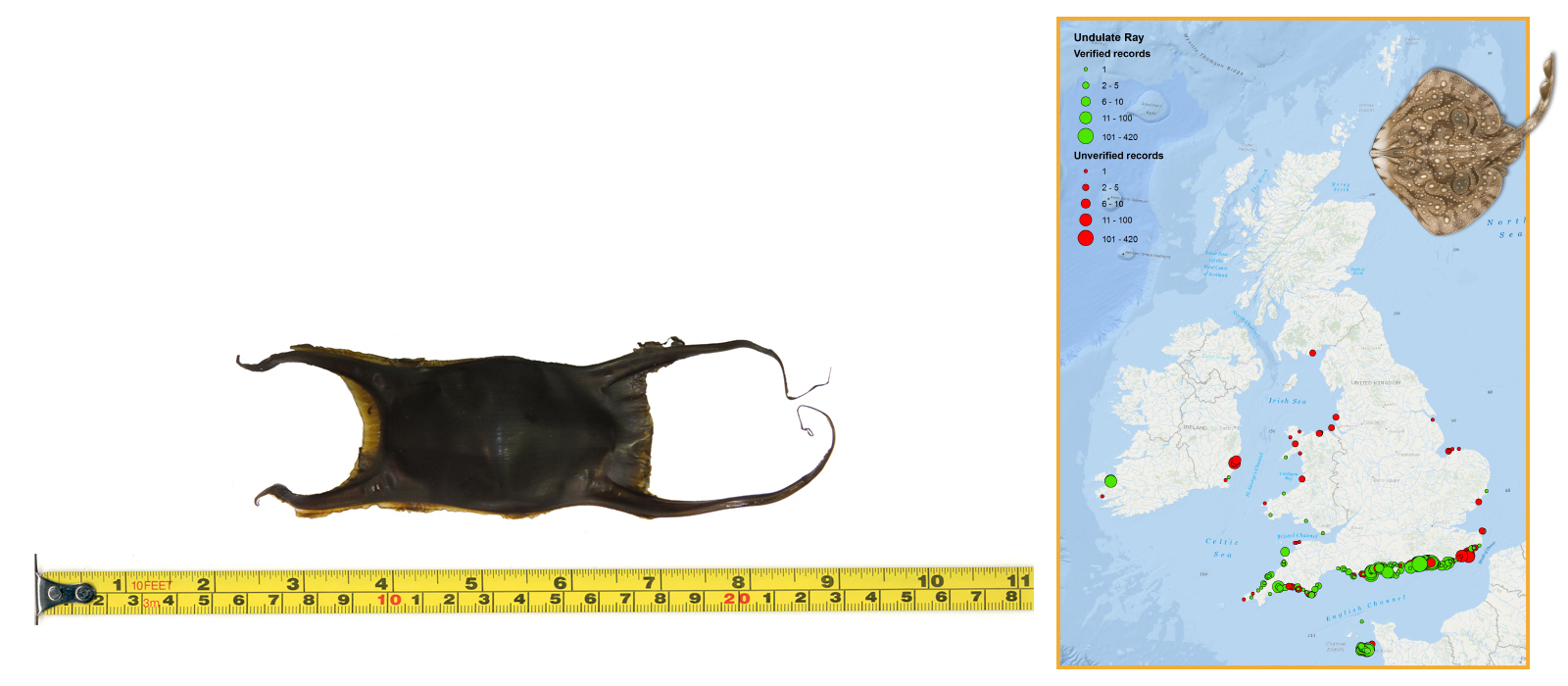 Undulate Ray Eggcase & Map