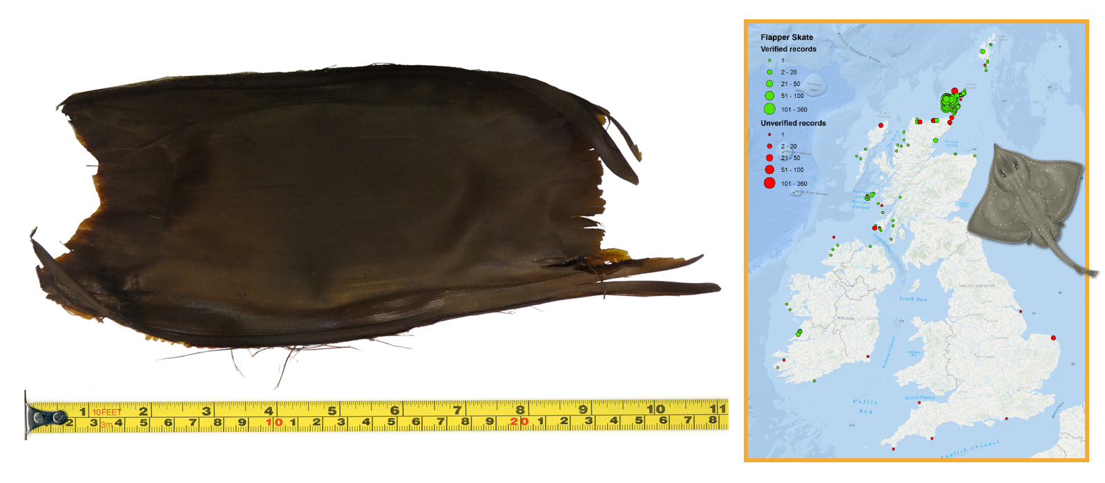 Flapper Skate Eggcase & Map