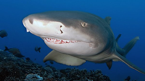 Lemon Shark © Vignaud Thomas
