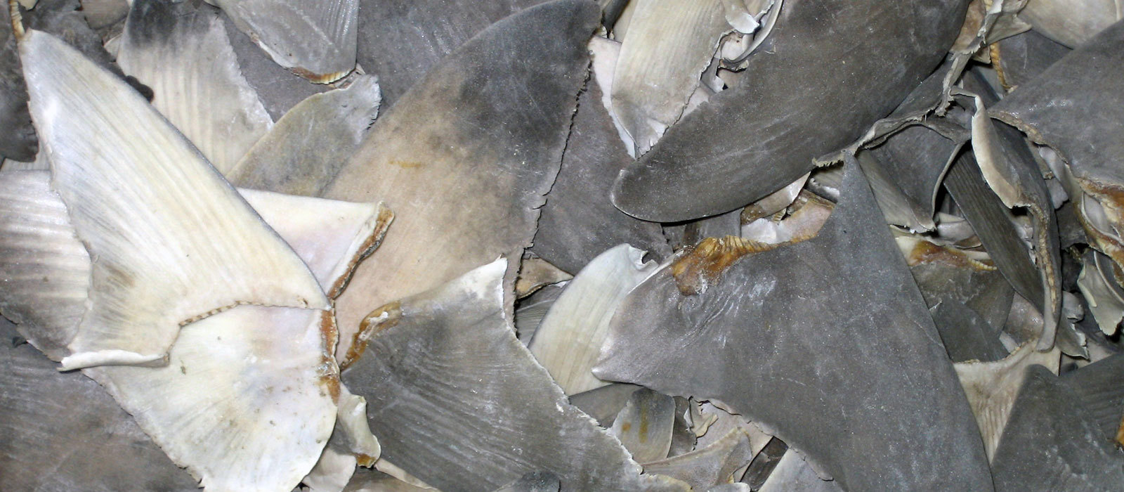 Shark Fins © Jessica King, Marine Photobank.