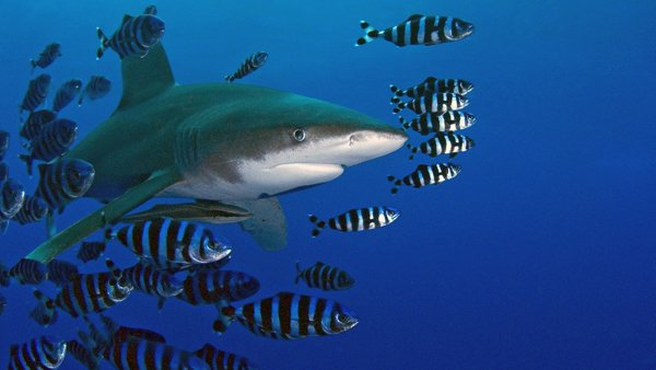 Oceanic Whitetip Shark © Jean louis Danan
