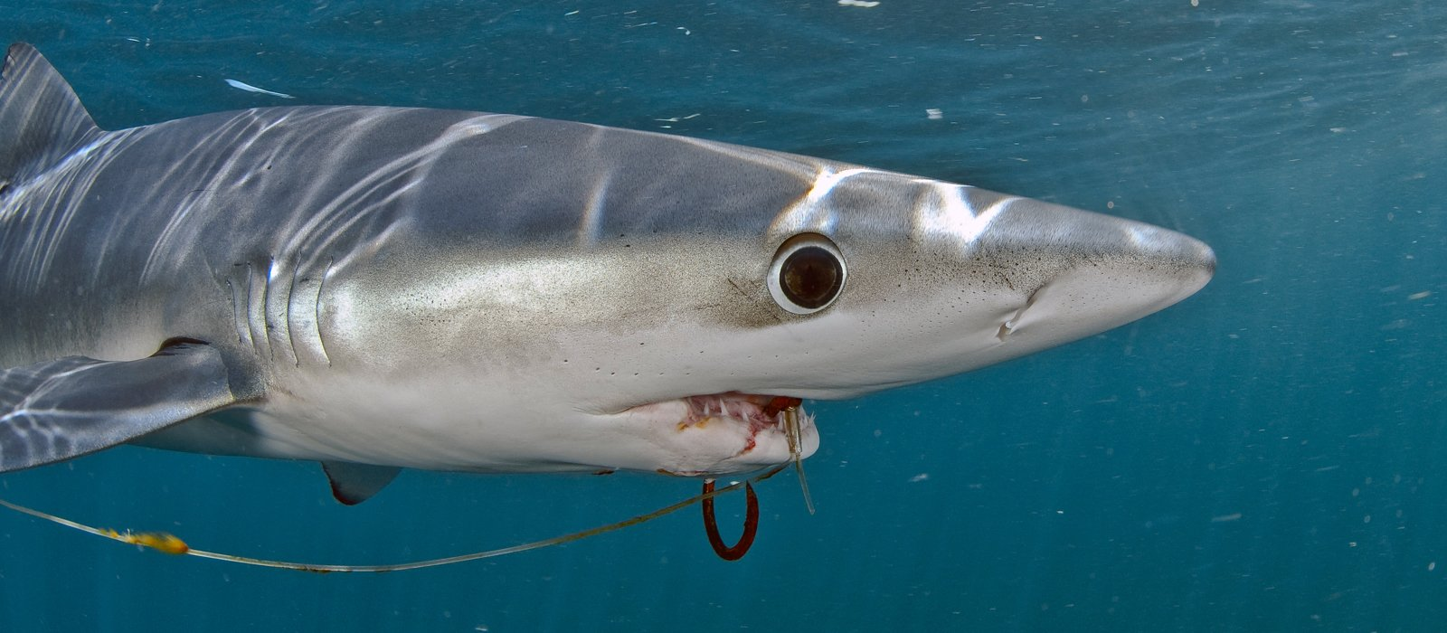 Blue Shark with Hook © Terry Goss Photography, USA Marine Photobank.