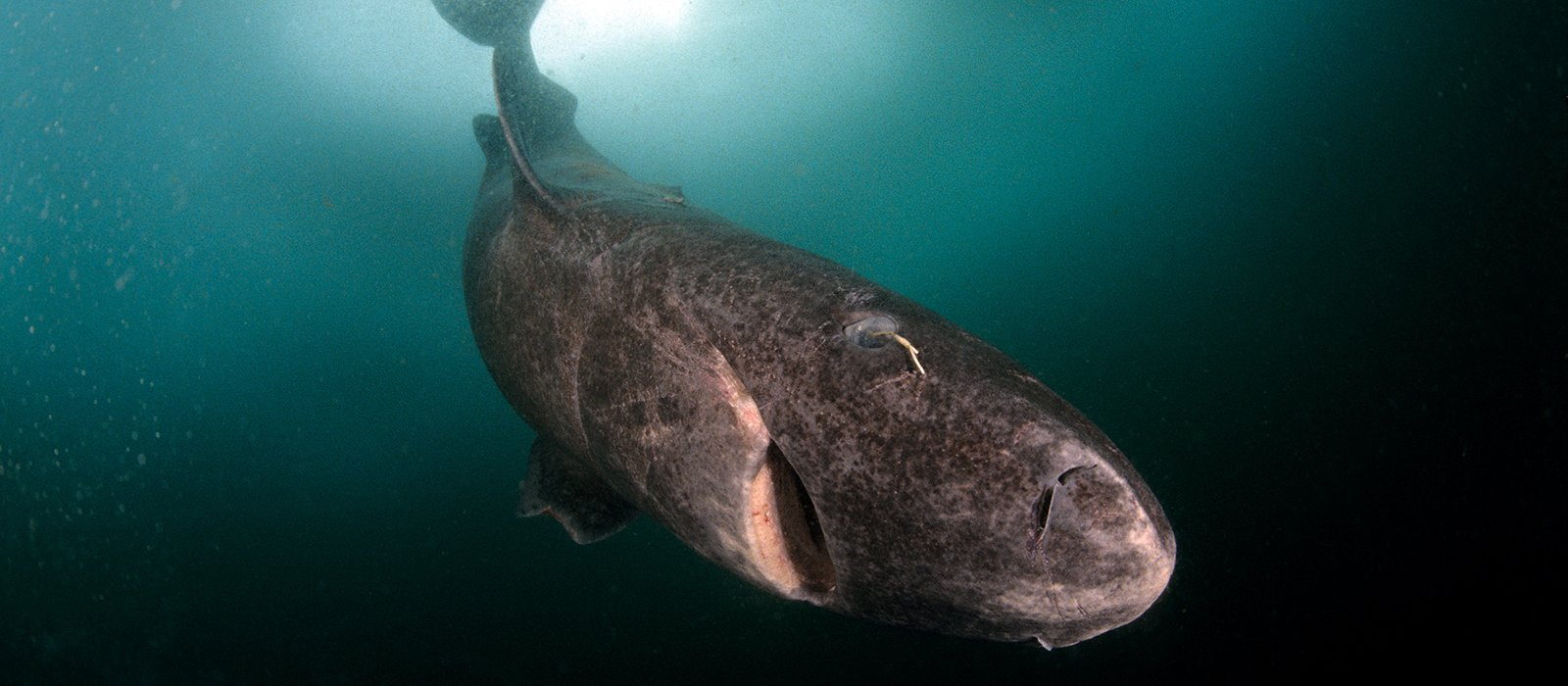 Greenland Shark with copepod © Franco Banfi/naturepl.com