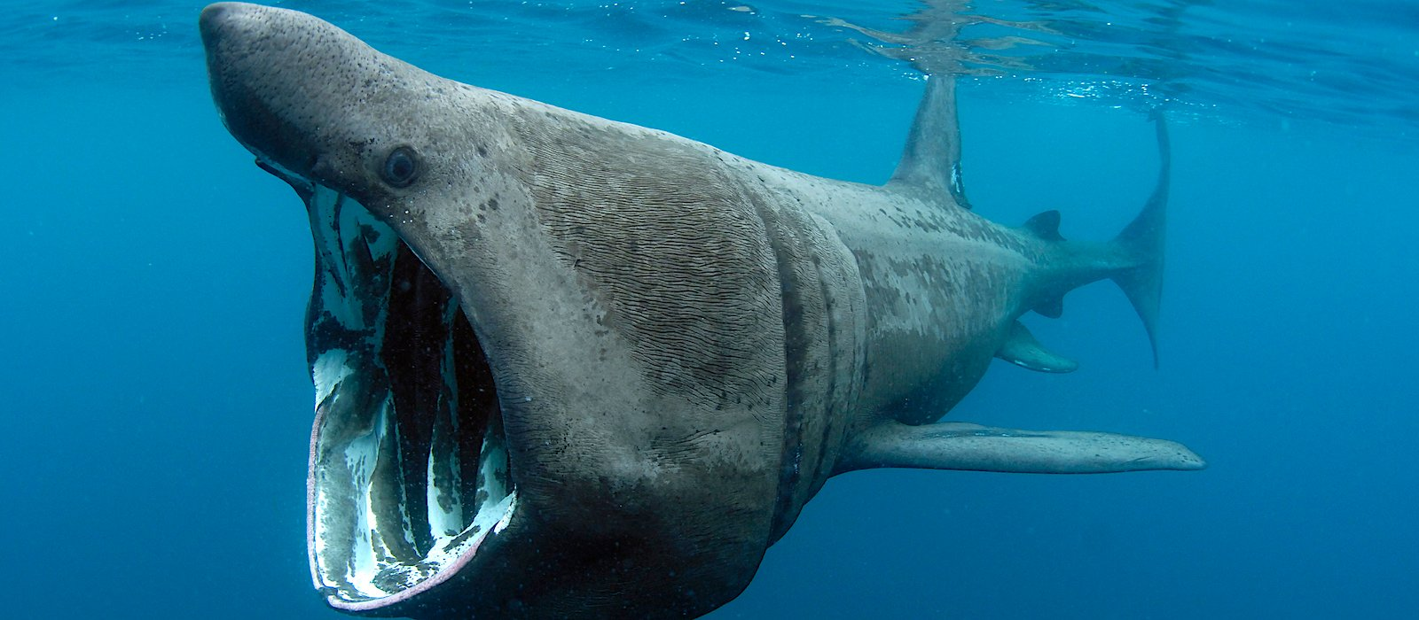 Basking Shark Appeal