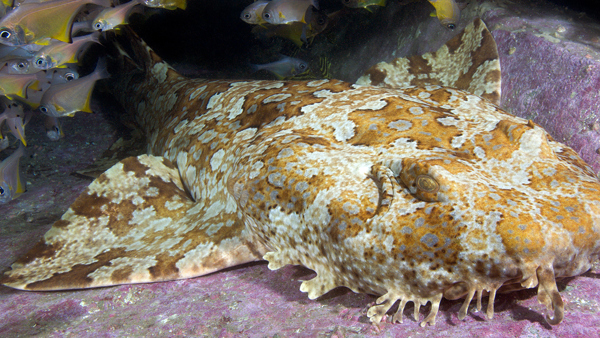 Wobbegong Shark © Andy Murch