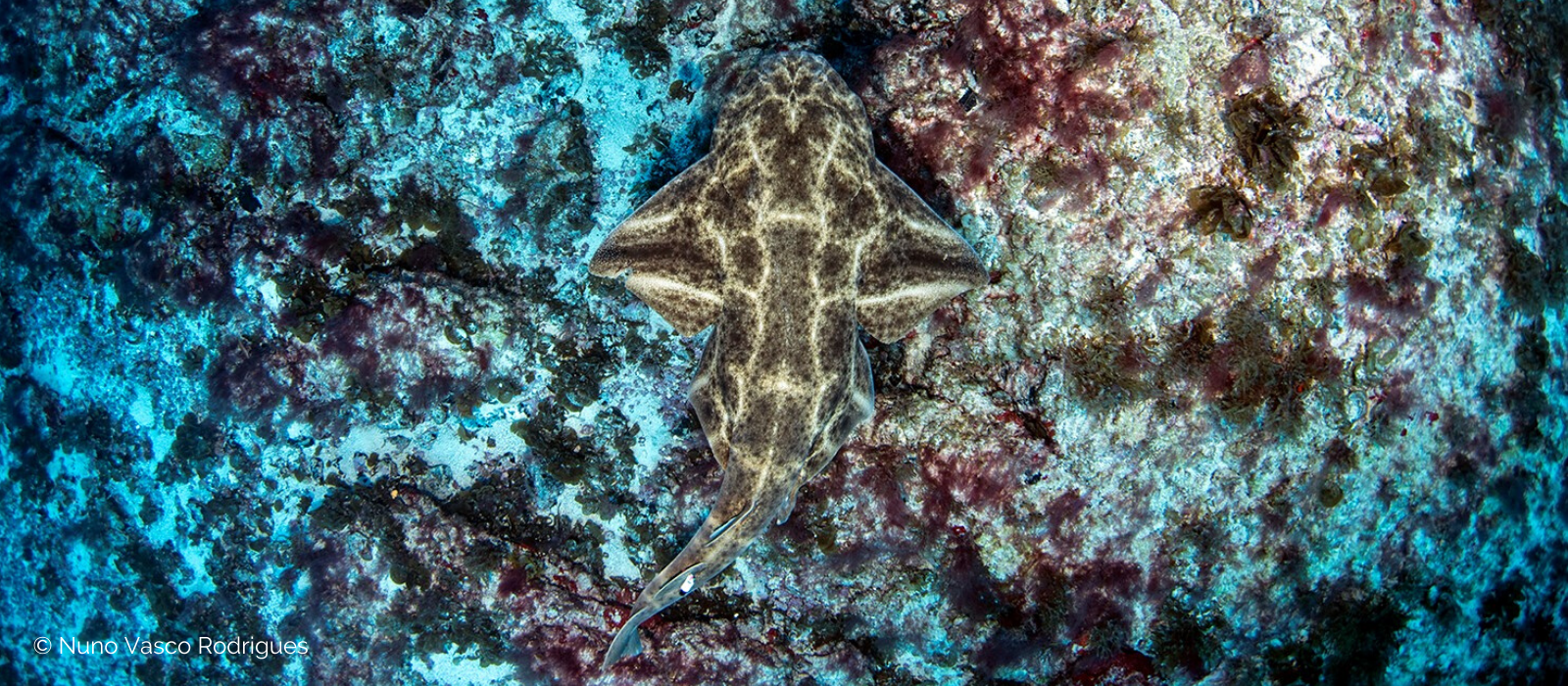 Angel shark © Nuno Vasco Rodrigues