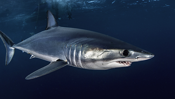 Shortfin Mako © Wildestanimals