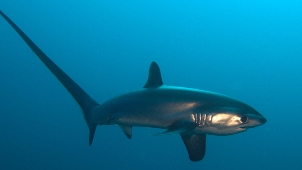 Thresher Shark © Matt Newell