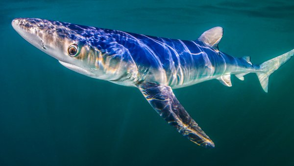 Blue Shark © Paul Colley