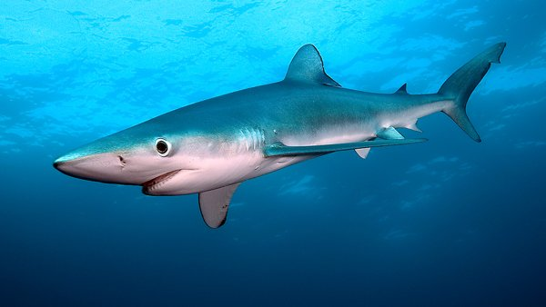 Blue Shark © Peter de Maagt