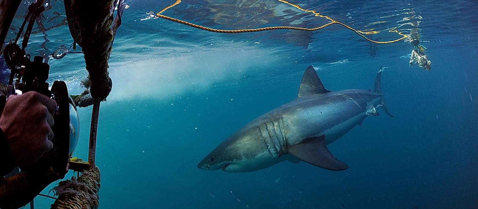 Cage Diving with White Shark © David Buckle