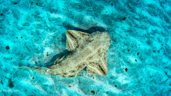 Angelshark © Nuno Vasco Rodrigues