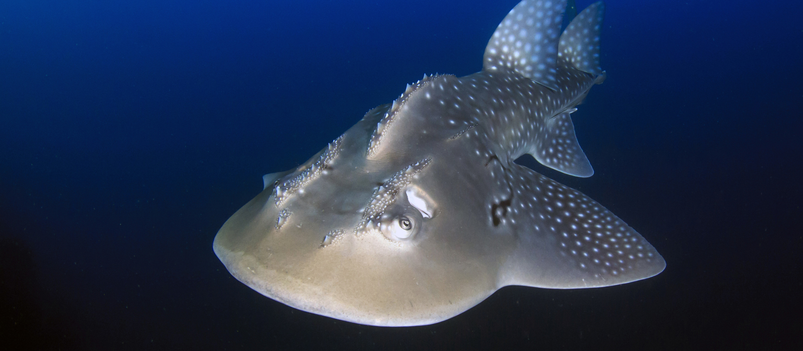 Bowmouth Guitarfish © Rich Carey, Shutterstock
