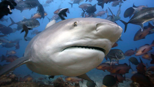 CREATURE FEATURE: Bull Shark