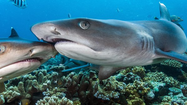 Whitetip Reef Sharks © Tom Vierus