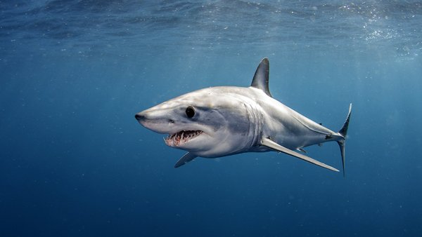 Canada Protects Endangered Mako Sharks with Groundbreaking Atlantic Ban