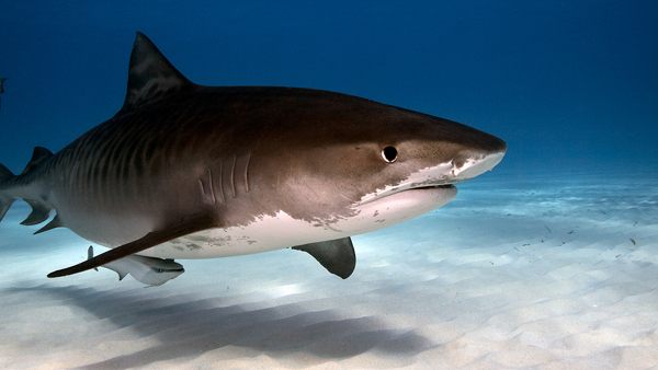 CREATURE FEATURE: Tiger Shark